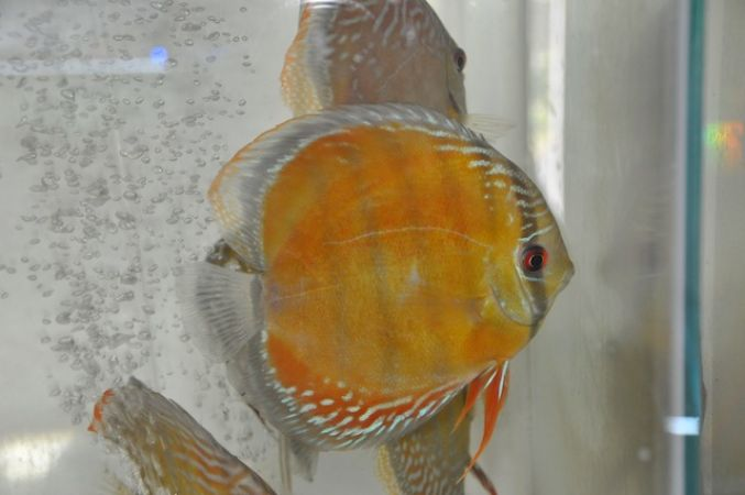 Fresh Water Fish H K Ornamental Fish