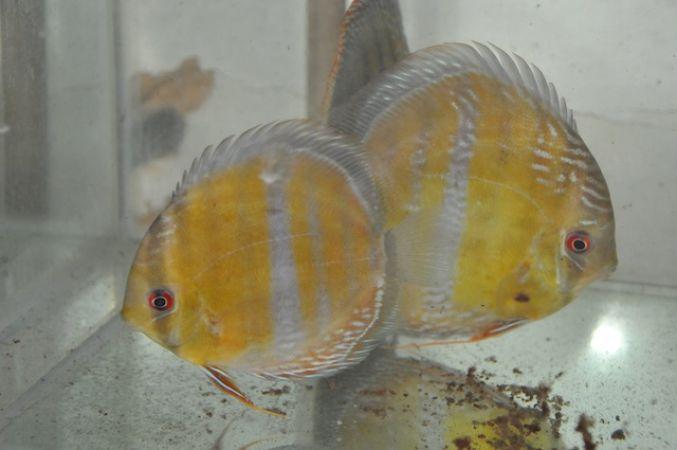 Fresh water fish h k ornamental fish for Ornamental fish