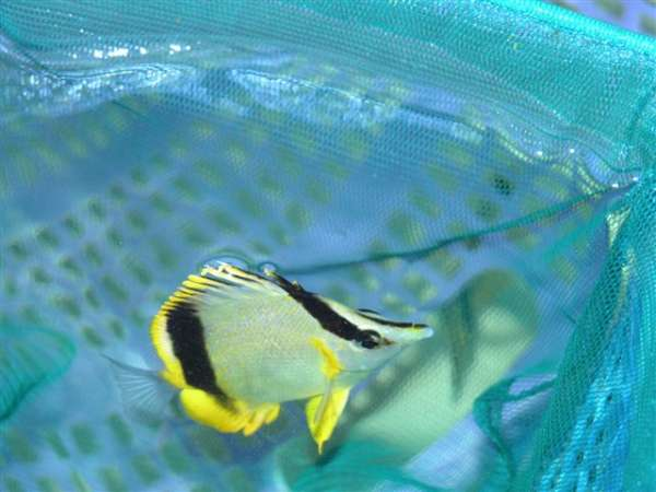 Marine fish h k ornamental fish for Ornamental fish
