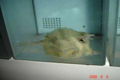 cowfish01